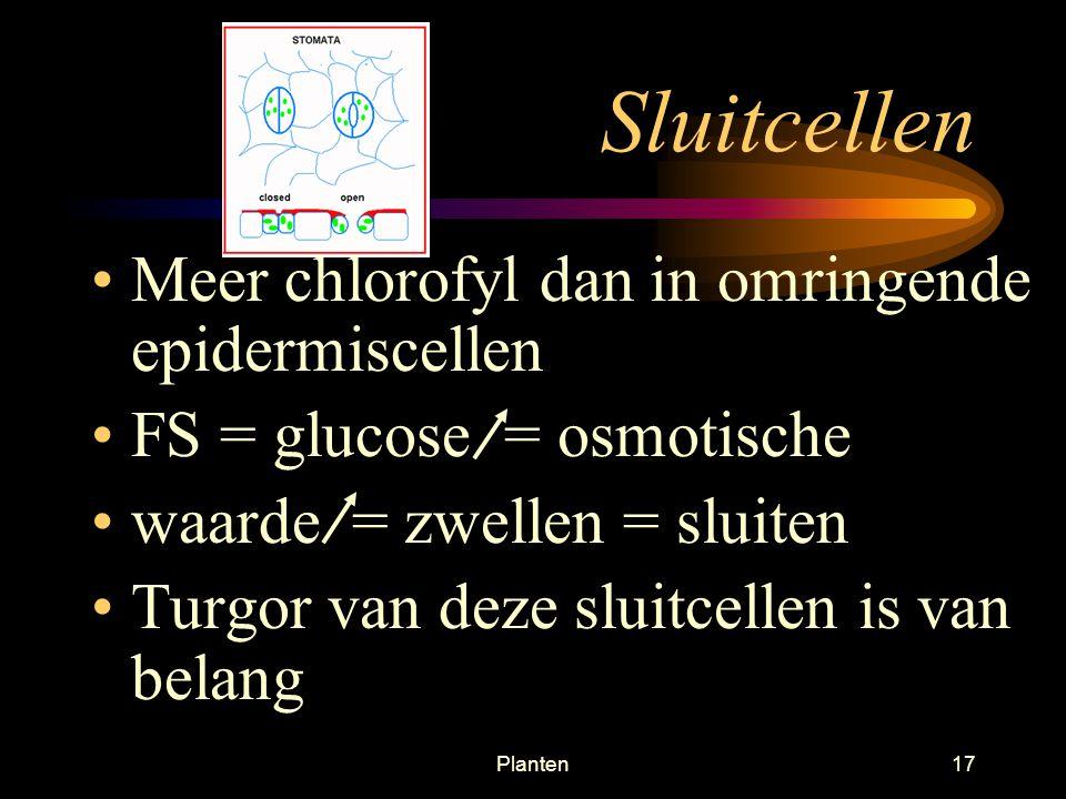 Sluitcellen Meer chlorofyl dan in omringende epidermiscellen