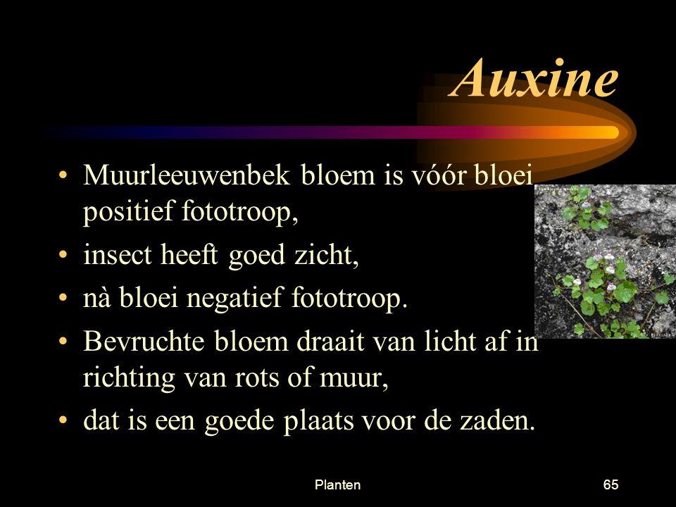 Auxine Muurleeuwenbek bloem is vóór bloei positief fototroop,