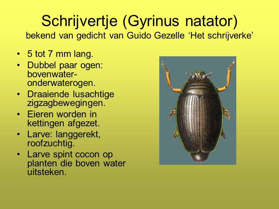 Schrijvertje (Gyrinus natator) bekend van gedicht van Guido Gezelle 'Het schrijverke'