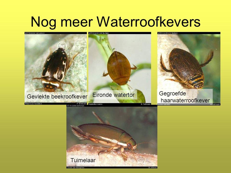 Nog meer Waterroofkevers