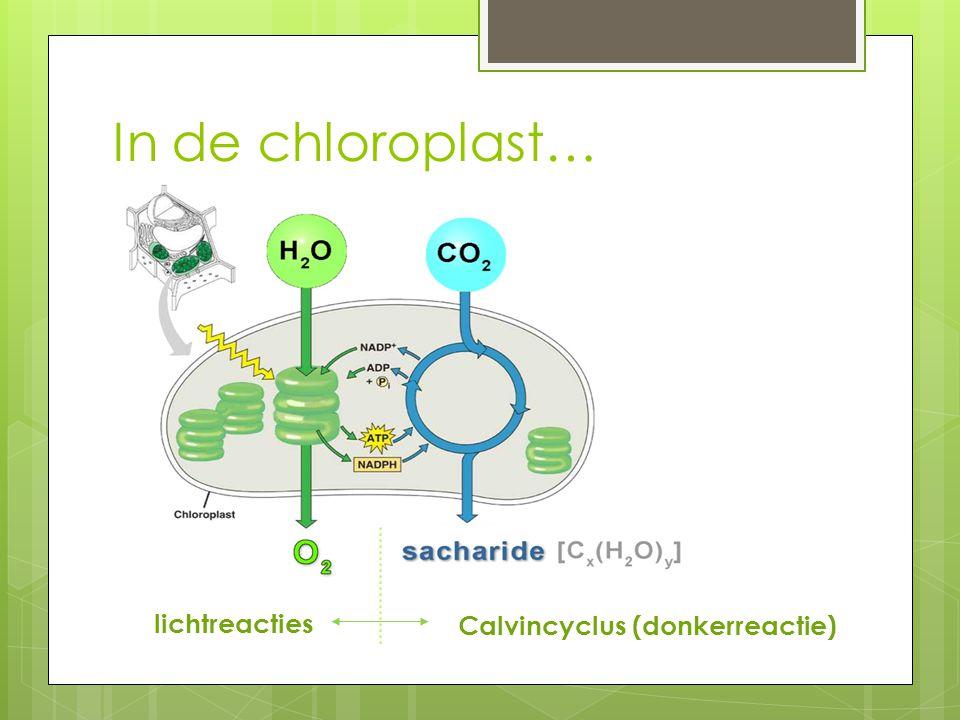 Calvincyclus (donkerreactie)