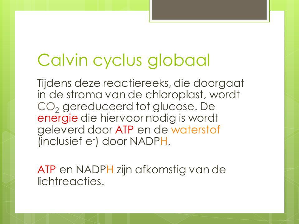 Calvin cyclus globaal