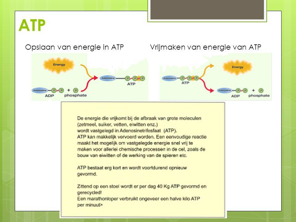 ATP Opslaan van energie in ATP Vrijmaken van energie van ATP