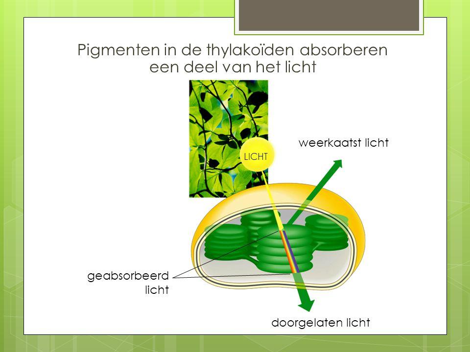 Pigmenten in de thylakoïden absorberen