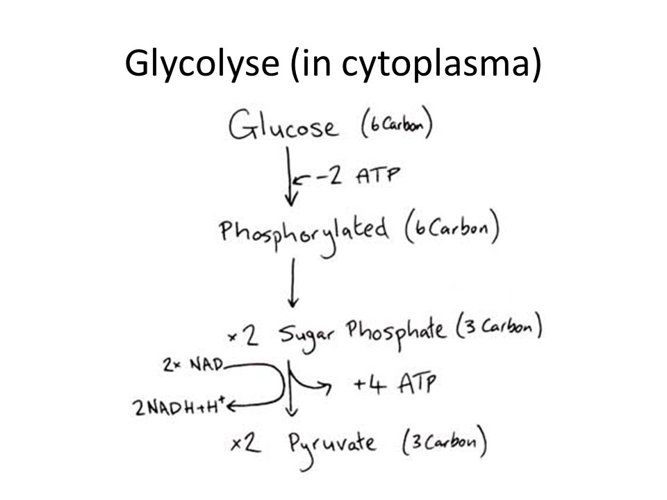 Glycolyse (in cytoplasma)