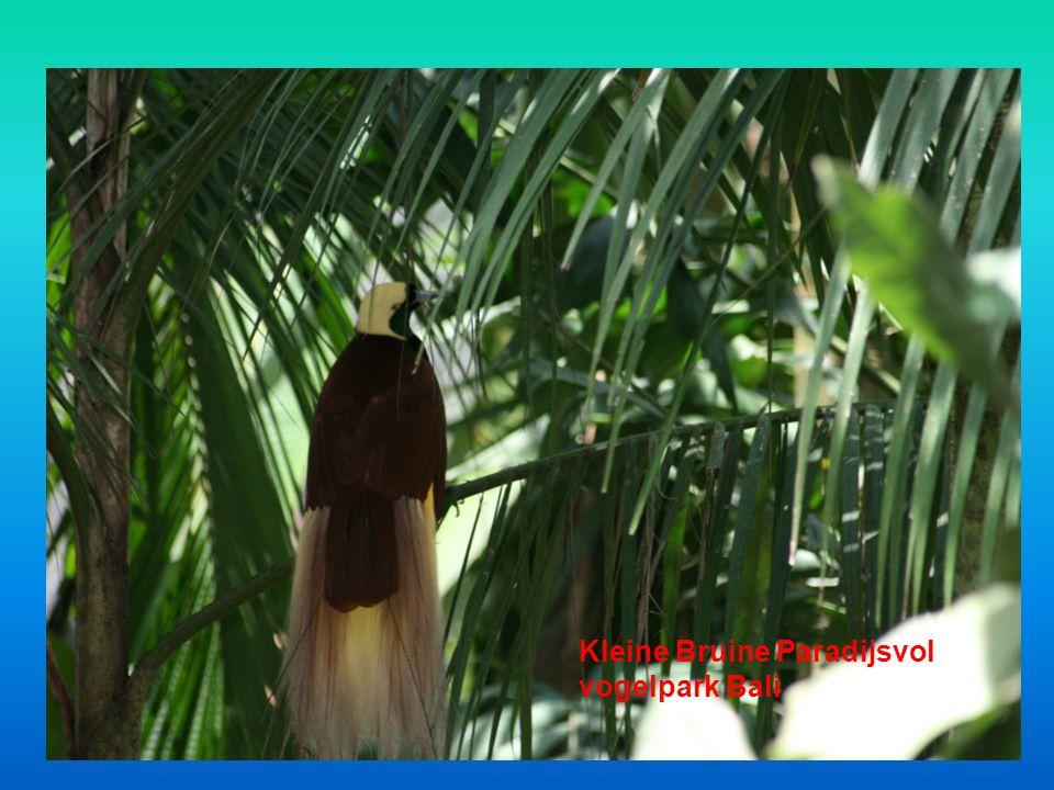Kleine Bruine Paradijsvol vogelpark Bali