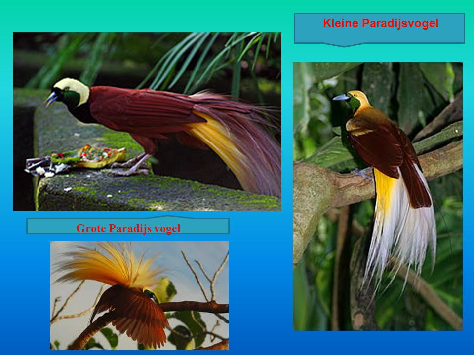 Kleine Paradijsvogel Grote Paradijs vogel