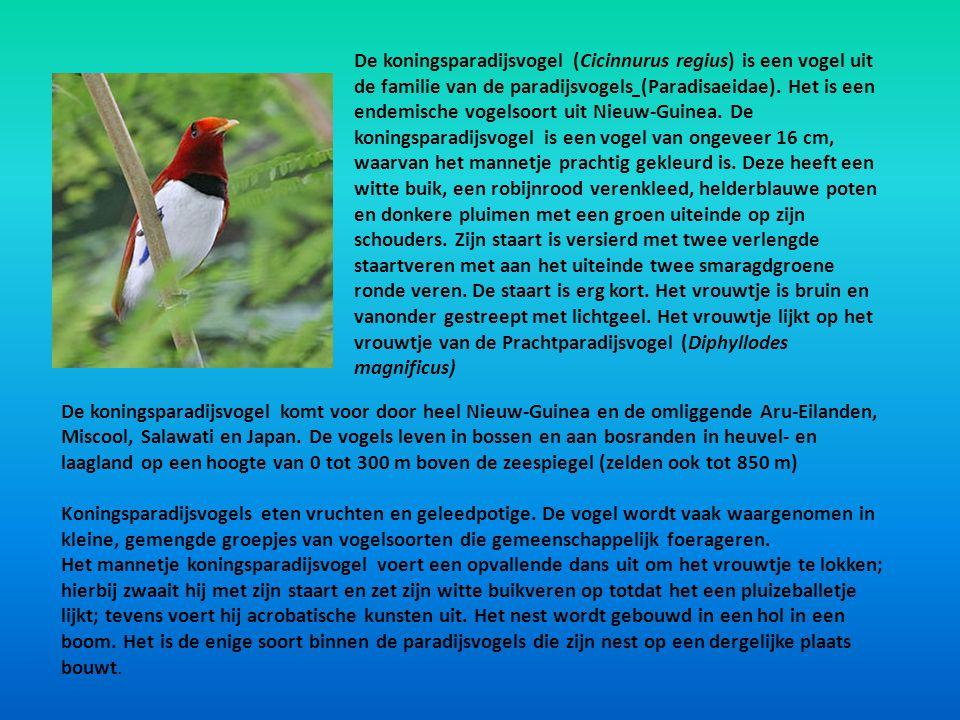 De koningsparadijsvogel (Cicinnurus regius) is een vogel uit de familie van de paradijsvogels (Paradisaeidae). Het is een endemische vogelsoort uit Nieuw-Guinea. De koningsparadijsvogel is een vogel van ongeveer 16 cm, waarvan het mannetje prachtig gekleurd is. Deze heeft een witte buik, een robijnrood verenkleed, helderblauwe poten en donkere pluimen met een groen uiteinde op zijn schouders. Zijn staart is versierd met twee verlengde staartveren met aan het uiteinde twee smaragdgroene ronde veren. De staart is erg kort. Het vrouwtje is bruin en vanonder gestreept met lichtgeel. Het vrouwtje lijkt op het vrouwtje van de Prachtparadijsvogel (Diphyllodes magnificus)