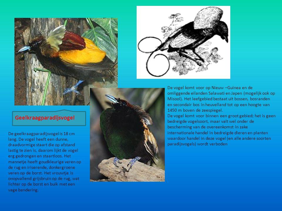 Geelkraagparadijsvogel