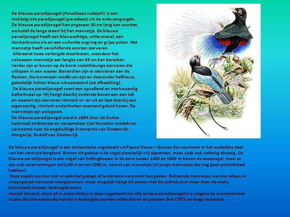 De blauwe paradijsvogel (Paradisaea rudolphi) is een middelgrote paradijsvogel (paradisea) uit de orde zangvogels . De blauwe paradijsvogel kan ongeveer 30 cm lang kan worden, exclusief de lange staart bij het mannetje. De blauwe paradijsvogel heeft een blauwachtige, witte snavel, een donkerbruine iris en een vuilwitte oogring en grijze poten. Het mannetje heeft verschillende soorten sierveren.