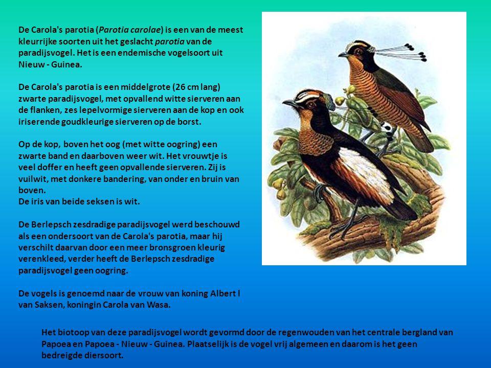 De Carola s parotia (Parotia carolae) is een van de meest kleurrijke soorten uit het geslacht parotia van de paradijsvogel. Het is een endemische vogelsoort uit Nieuw - Guinea.