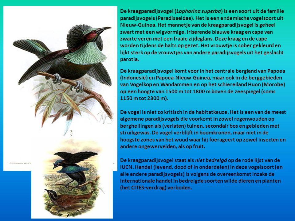 De kraagparadijsvogel (Lophorina superba) is een soort uit de familie paradijsvogels (Paradisaeidae). Het is een endemische vogelsoort uit Nieuw-Guinea. Het mannetje van de kraagparadijsvogel is geheel zwart met een wigvormige, iriserende blauwe kraag en cape van zwarte veren met een fraaie zijdeglans. Deze kraag en de cape worden tijdens de balts op gezet. Het vrouwtje is sober gekleurd en lijkt sterk op de vrouwtjes van andere paradijsvogels uit het geslacht parotia.