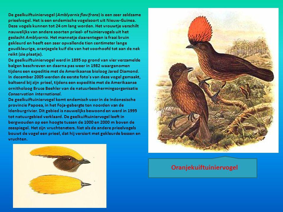 Oranjekuiftuiniervogel