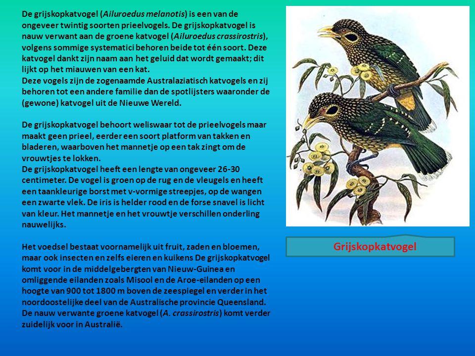 De grijskopkatvogel (Ailuroedus melanotis) is een van de ongeveer twintig soorten prieelvogels. De grijskopkatvogel is nauw verwant aan de groene katvogel (Ailuroedus crassirostris), volgens sommige systematici behoren beide tot één soort. Deze katvogel dankt zijn naam aan het geluid dat wordt gemaakt; dit lijkt op het miauwen van een kat.