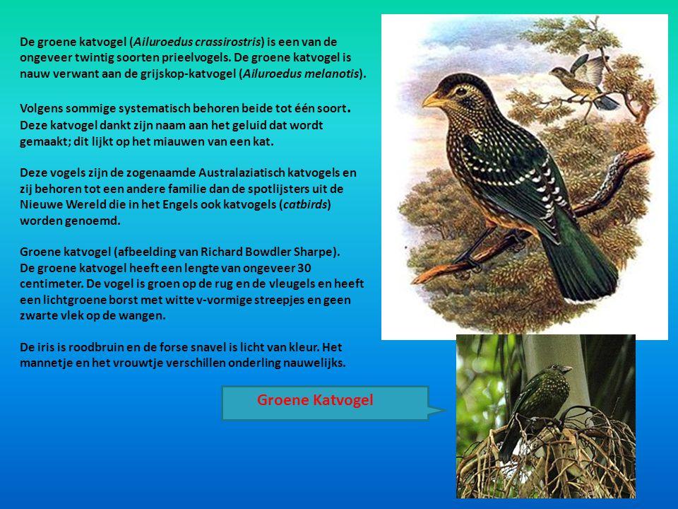 De groene katvogel (Ailuroedus crassirostris) is een van de ongeveer twintig soorten prieelvogels. De groene katvogel is nauw verwant aan de grijskop-katvogel (Ailuroedus melanotis).