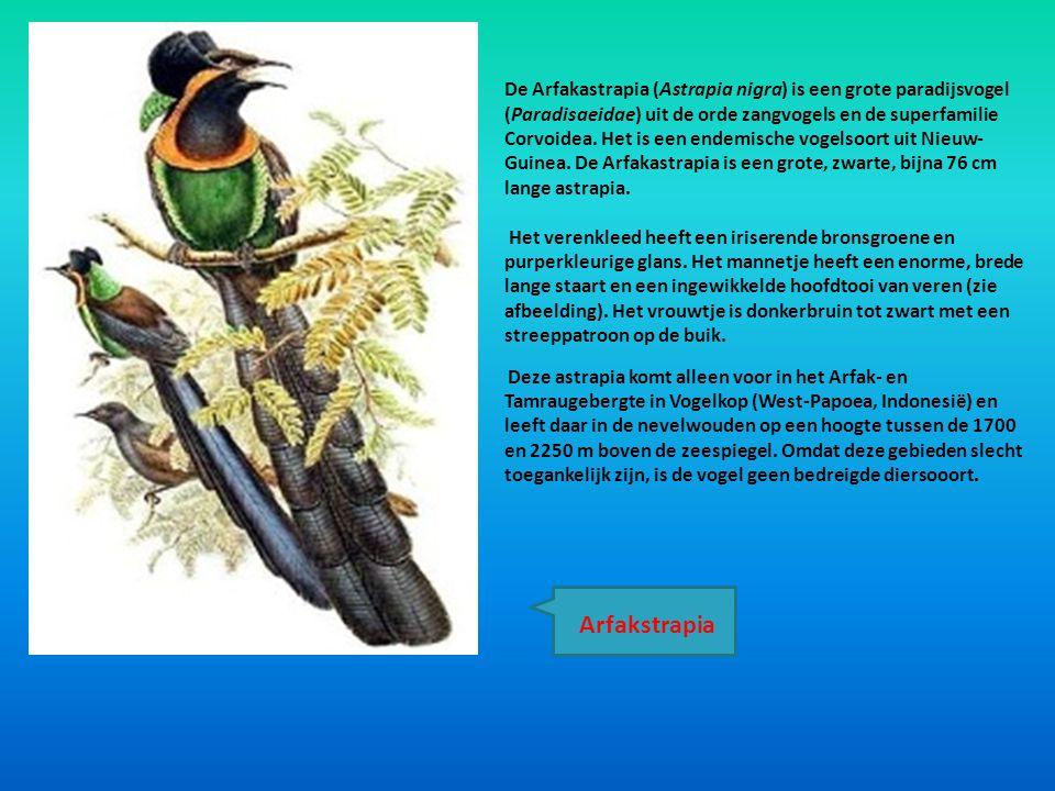 De Arfakastrapia (Astrapia nigra) is een grote paradijsvogel (Paradisaeidae) uit de orde zangvogels en de superfamilie Corvoidea. Het is een endemische vogelsoort uit Nieuw-Guinea. De Arfakastrapia is een grote, zwarte, bijna 76 cm lange astrapia.