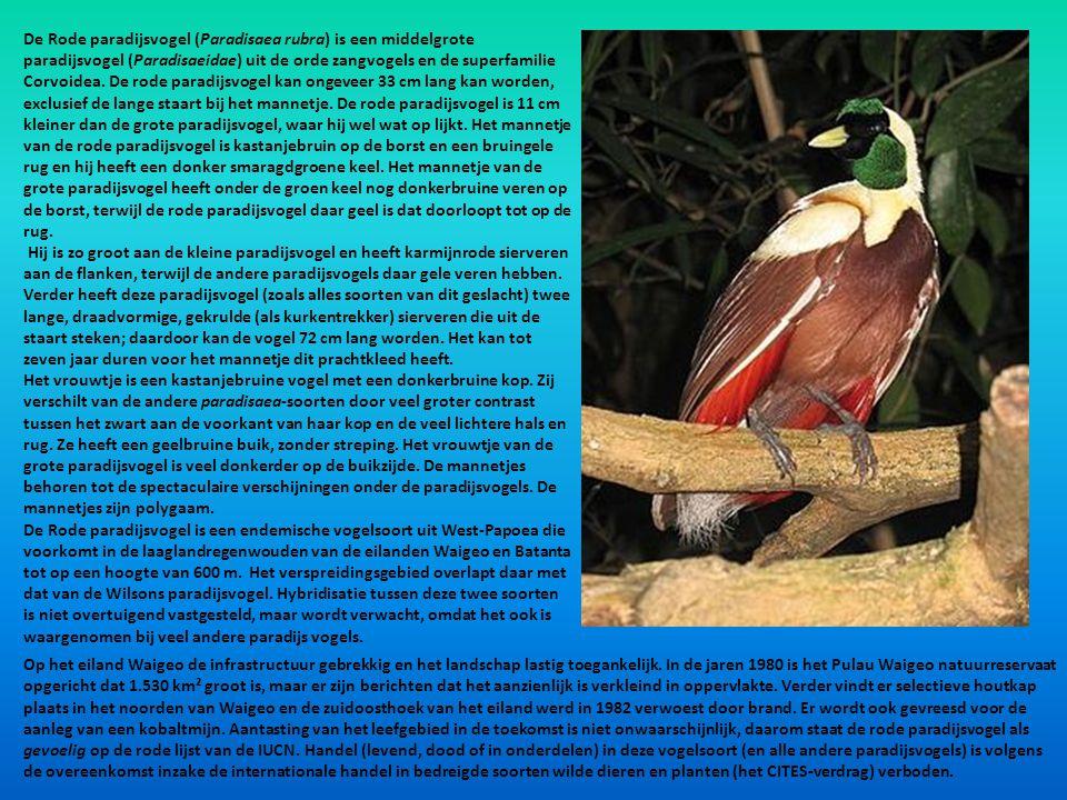 De Rode paradijsvogel (Paradisaea rubra) is een middelgrote paradijsvogel (Paradisaeidae) uit de orde zangvogels en de superfamilie Corvoidea. De rode paradijsvogel kan ongeveer 33 cm lang kan worden, exclusief de lange staart bij het mannetje. De rode paradijsvogel is 11 cm kleiner dan de grote paradijsvogel, waar hij wel wat op lijkt. Het mannetje van de rode paradijsvogel is kastanjebruin op de borst en een bruingele rug en hij heeft een donker smaragdgroene keel. Het mannetje van de grote paradijsvogel heeft onder de groen keel nog donkerbruine veren op de borst, terwijl de rode paradijsvogel daar geel is dat doorloopt tot op de rug.
