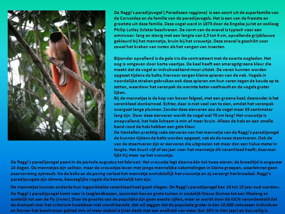 De Raggi s paradijsvogel ( Paradisaea raggiana) is een soort uit de superfamilie van de Corvoidea en de familie van de paradijsvogels. Het is een van de fraaiste en grootste uit deze familie. Deze vogel werd in 1873 door de Engelse jurist en zoöloog Philip Lutley Sclater beschreven. De vorm van de snavel is typisch voor een omnivoor: lang en stevig met een lengte van 3,5 tot 4 cm, opvallende grijsblauwe gekleurd bij het mannetje, bruin bij het vrouwtje. Deze snavel is geschikt voor zowel het kraken van noten als het vangen van insecten.