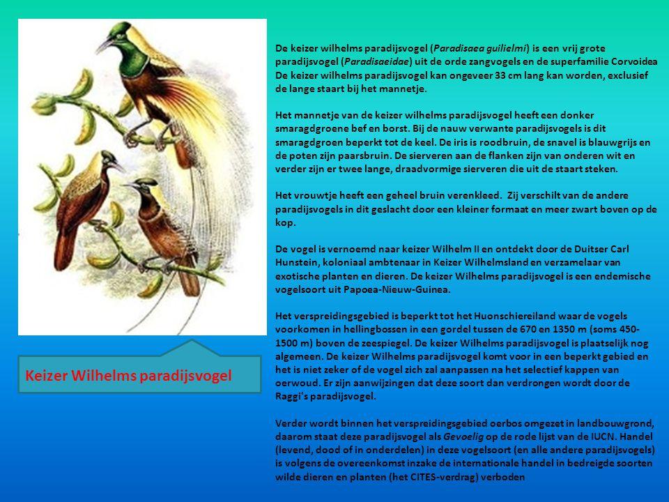 Keizer Wilhelms paradijsvogel