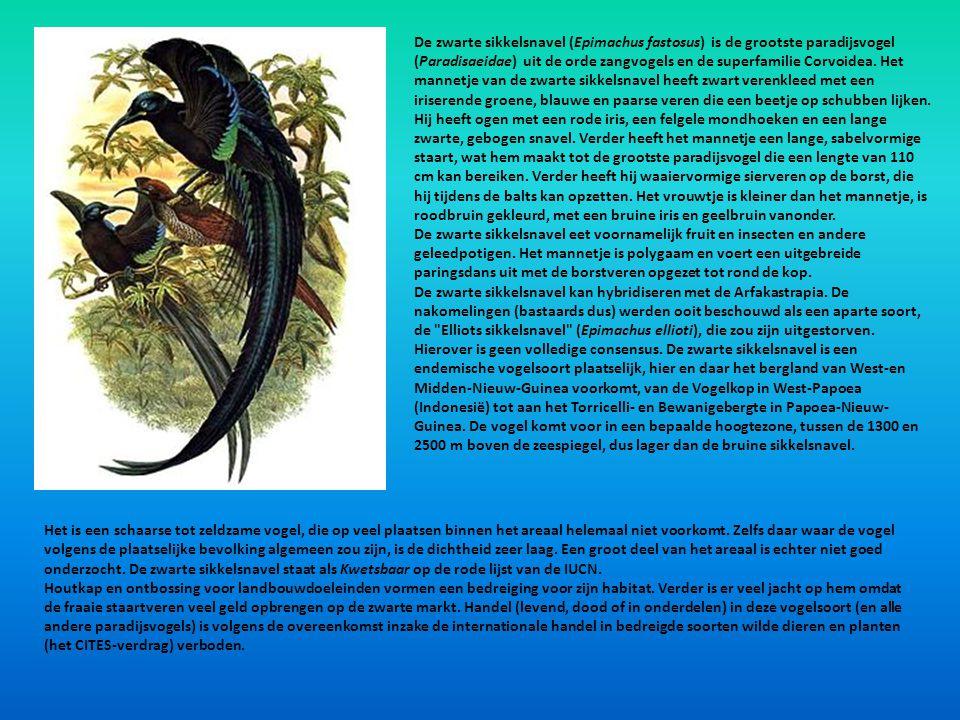 De zwarte sikkelsnavel (Epimachus fastosus) is de grootste paradijsvogel (Paradisaeidae) uit de orde zangvogels en de superfamilie Corvoidea. Het mannetje van de zwarte sikkelsnavel heeft zwart verenkleed met een iriserende groene, blauwe en paarse veren die een beetje op schubben lijken.
