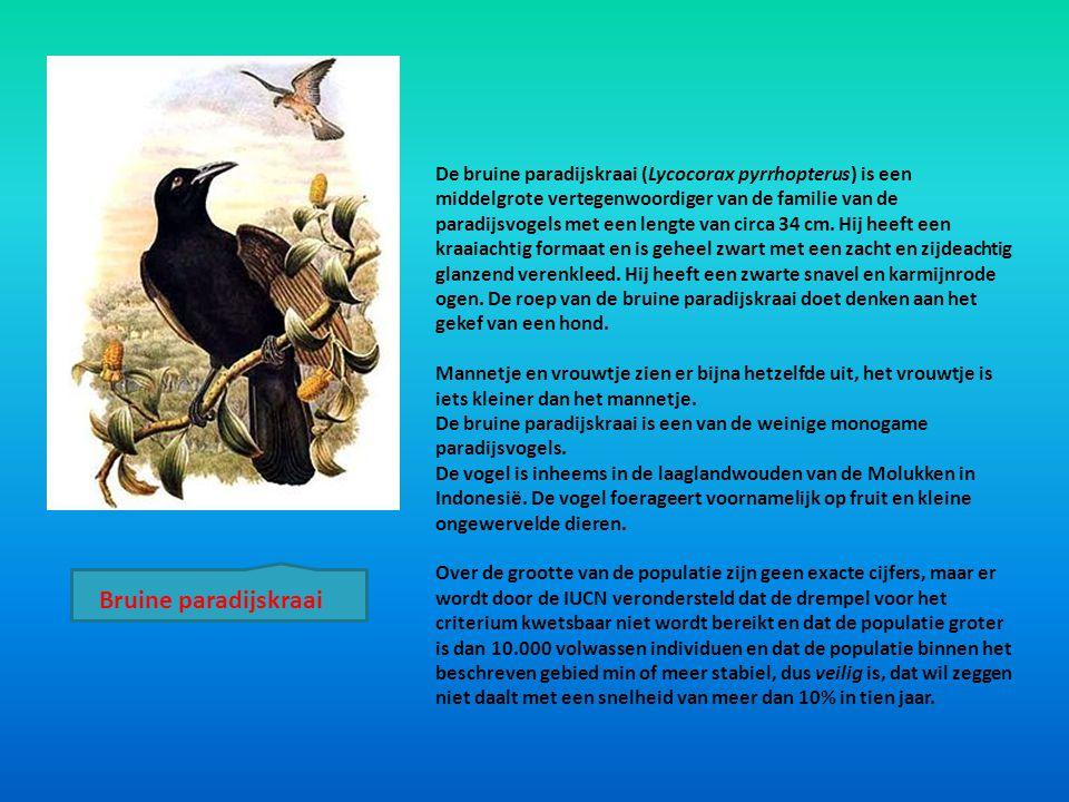 De bruine paradijskraai (Lycocorax pyrrhopterus) is een middelgrote vertegenwoordiger van de familie van de paradijsvogels met een lengte van circa 34 cm. Hij heeft een kraaiachtig formaat en is geheel zwart met een zacht en zijdeachtig glanzend verenkleed. Hij heeft een zwarte snavel en karmijnrode ogen. De roep van de bruine paradijskraai doet denken aan het gekef van een hond.