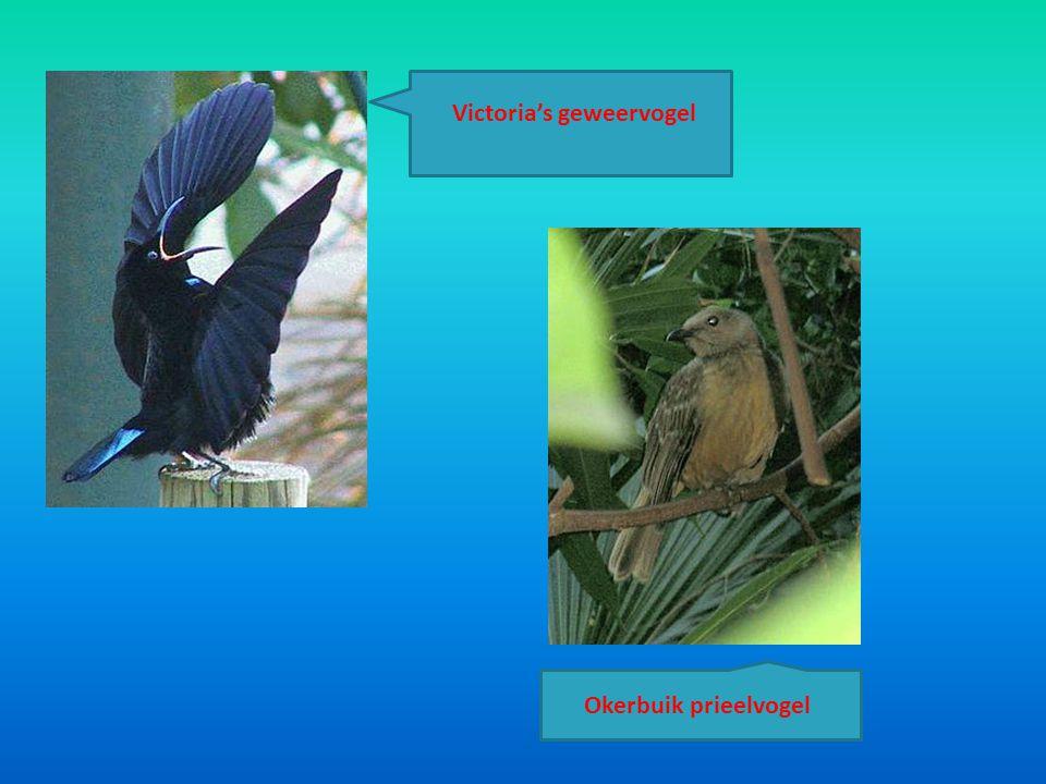 Victoria's geweervogel