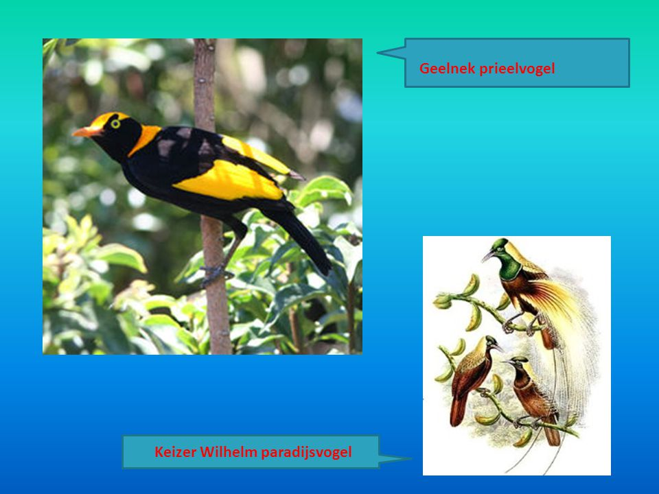 Geelnek prieelvogel Keizer Wilhelm paradijsvogel