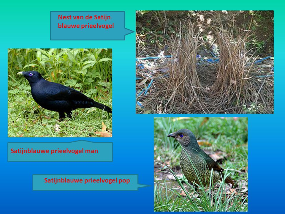 Nest van de Satijn blauwe prieelvogel