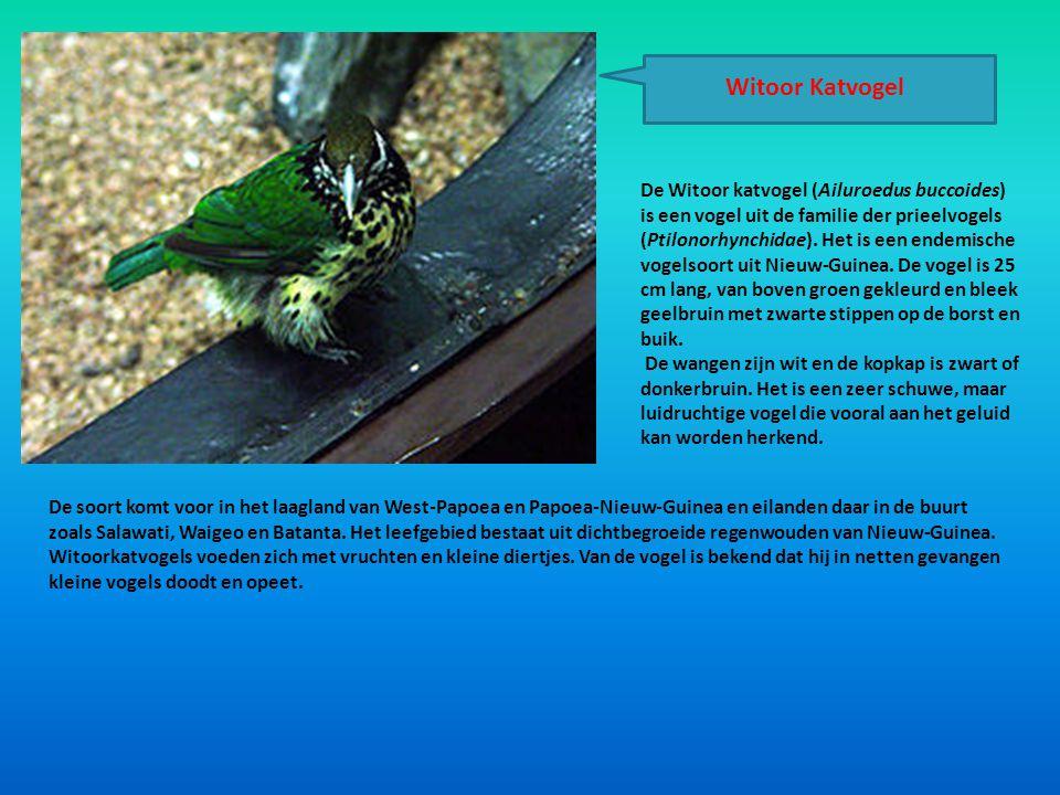 Witoor Katvogel