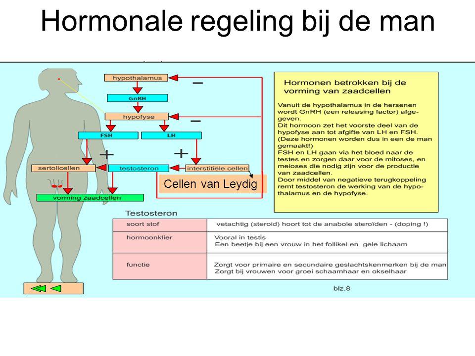 Hormonale regeling bij de man