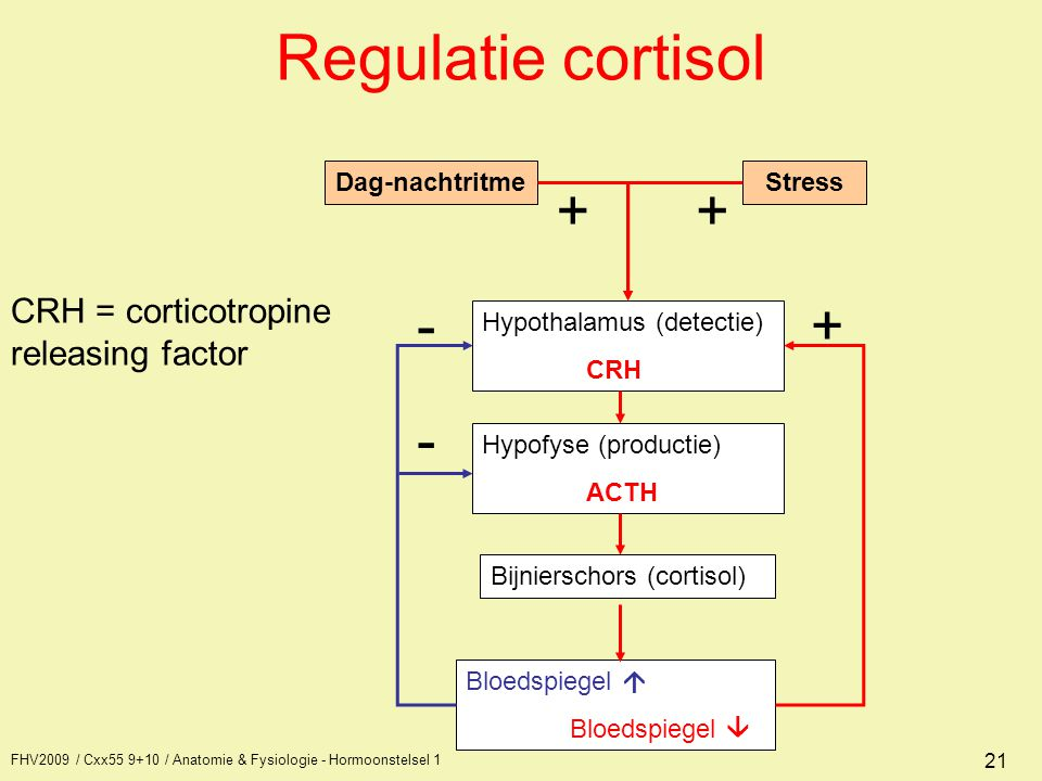 Regulatie cortisol + + - + - CRH = corticotropine releasing factor