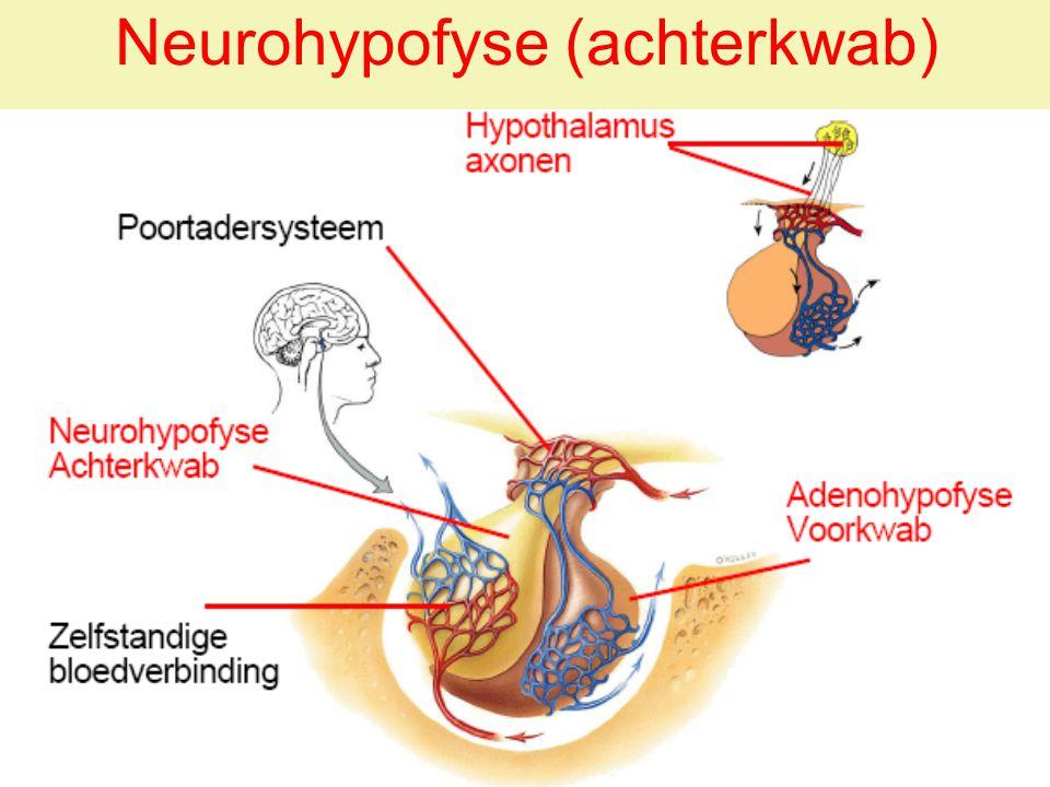 Neurohypofyse (achterkwab)