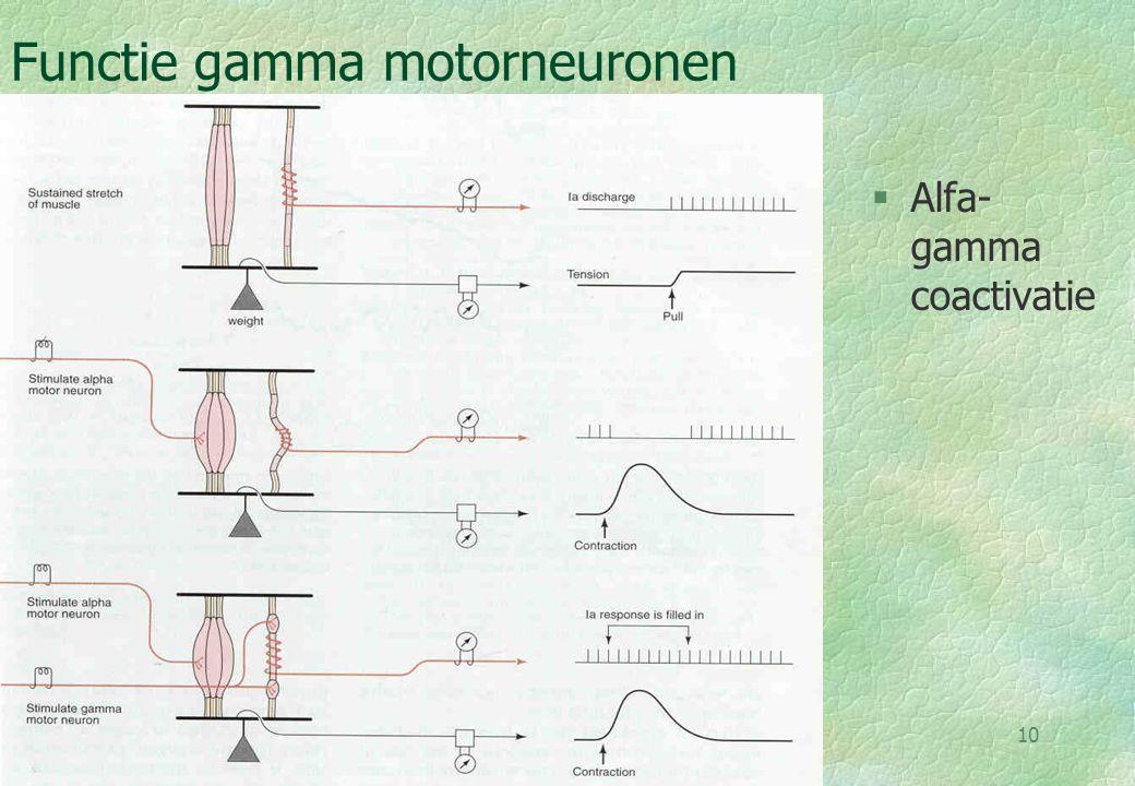 Functie gamma motorneuronen