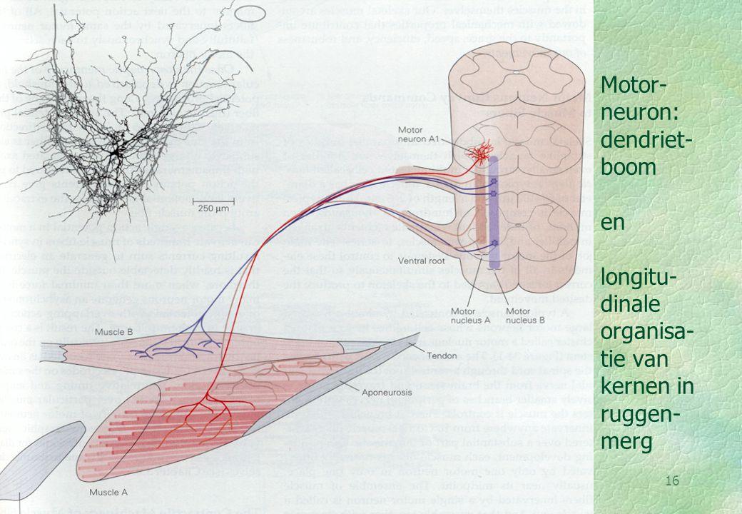 Motor-neuron: dendriet-boom en longitu-dinale organisa-tie van kernen in ruggen-merg