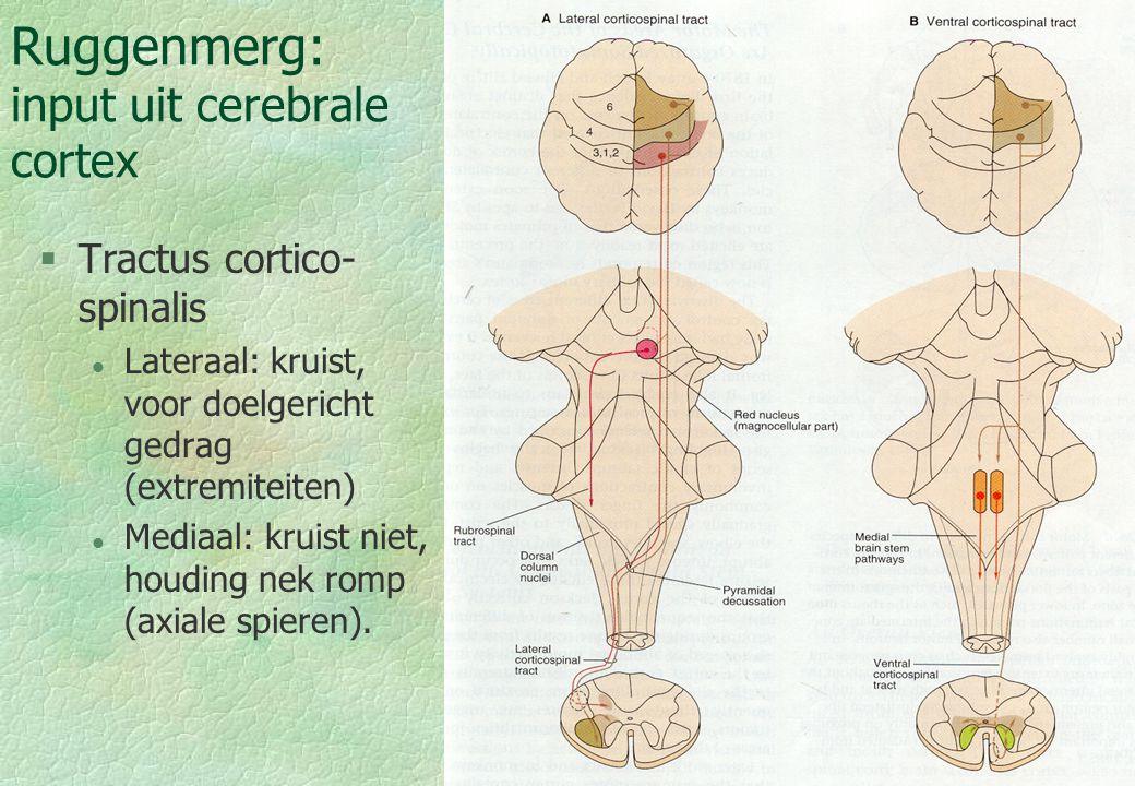 Ruggenmerg: input uit cerebrale cortex