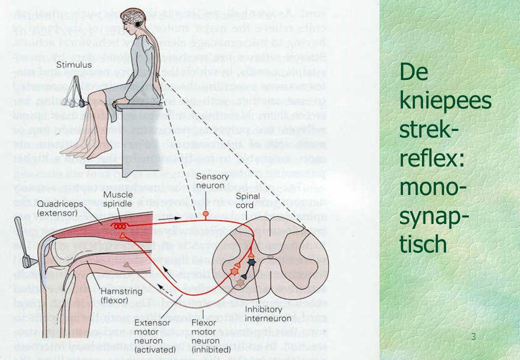 De kniepees strek-reflex: mono-synap-tisch