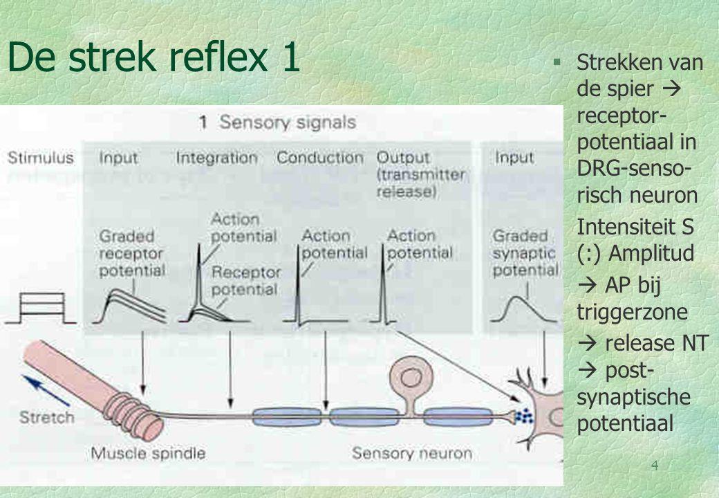 De strek reflex 1 Strekken van de spier  receptor-potentiaal in DRG-senso-risch neuron. Intensiteit S (:) Amplitud.