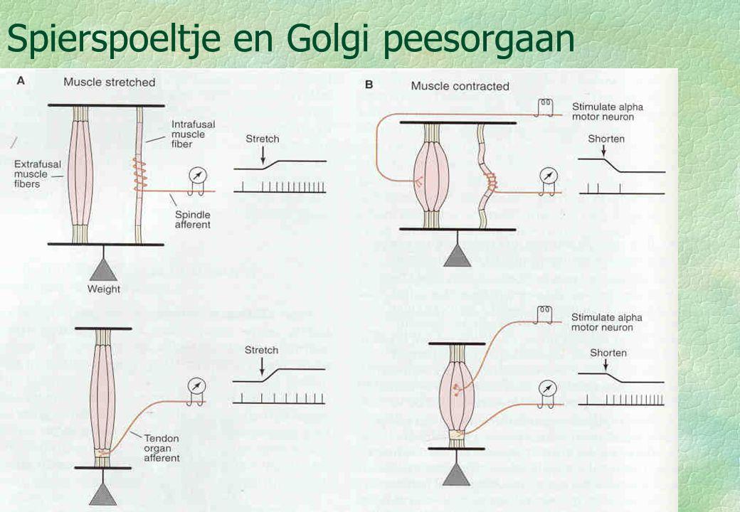 Spierspoeltje en Golgi peesorgaan