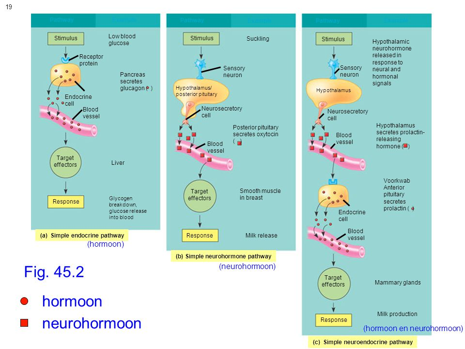 Fig. 45.2 hormoon neurohormoon (hormoon) (neurohormoon)
