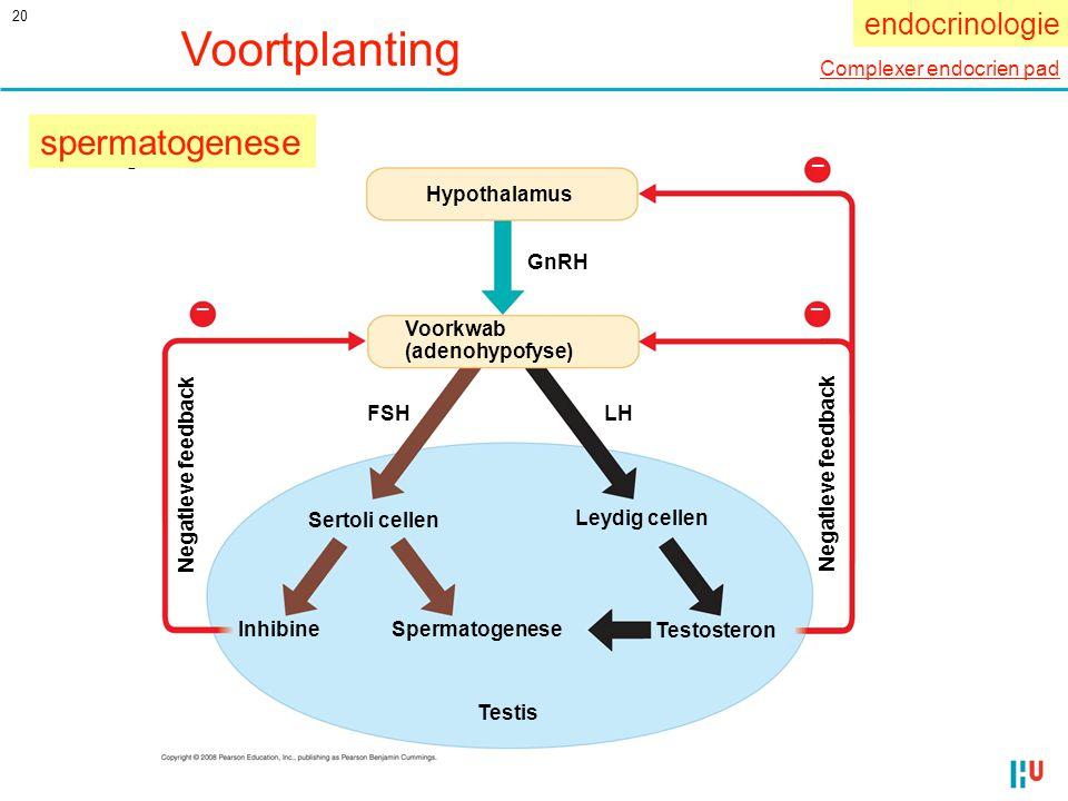 Voortplanting spermatogenese endocrinologie Complexer endocrien pad
