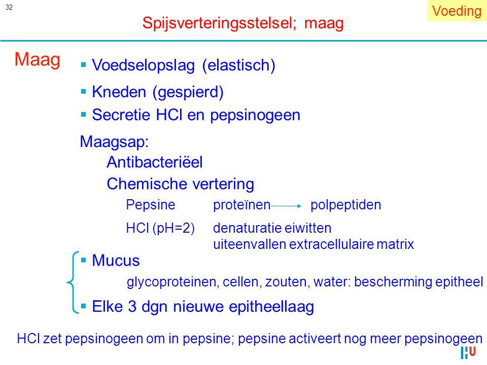 Maag Spijsverteringsstelsel; maag Voedselopslag (elastisch)
