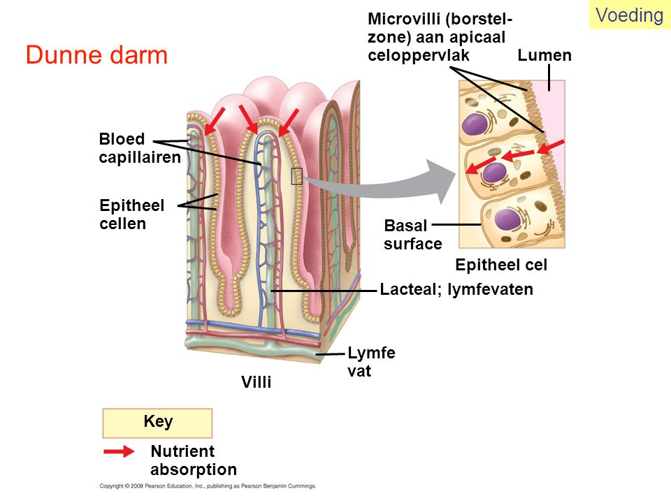 Dunne darm Voeding Microvilli (borstel- zone) aan apicaal celoppervlak