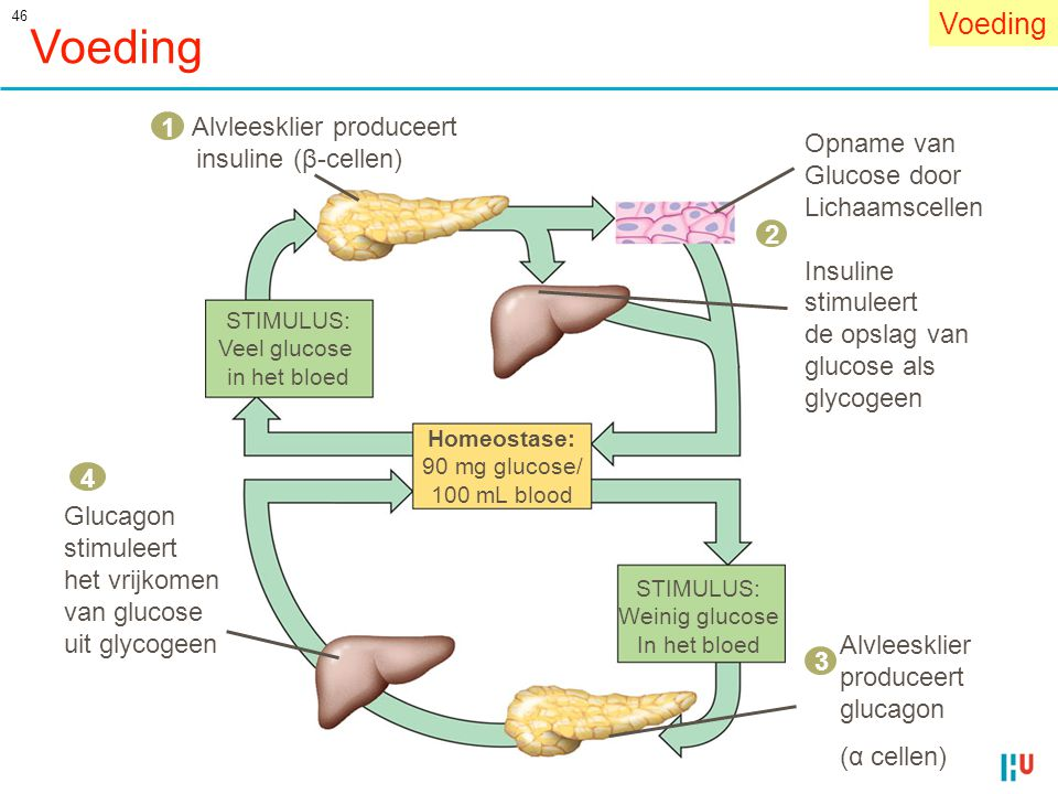 Voeding Voeding 1 insuline (β-cellen) Opname van Glucose door