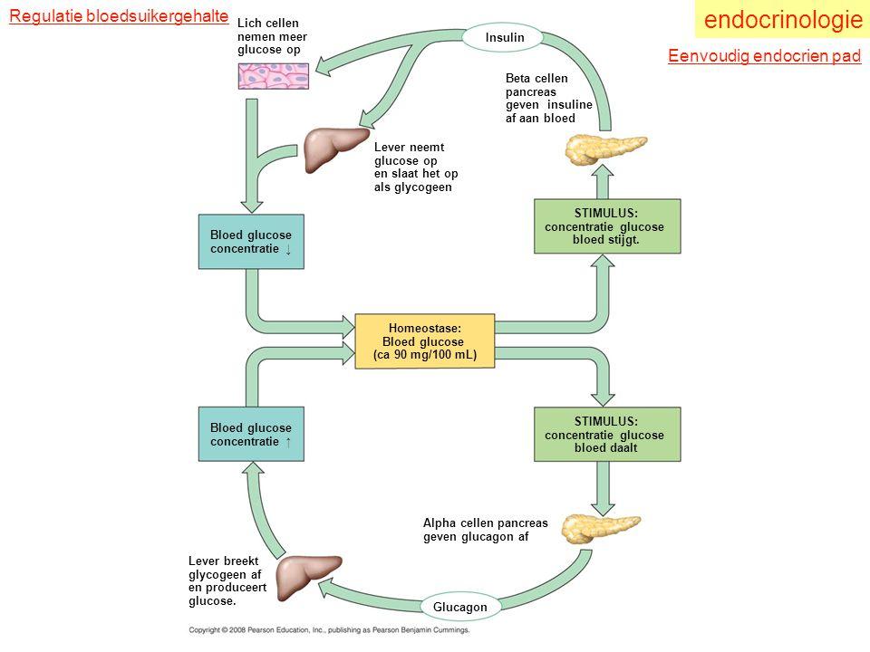 endocrinologie Regulatie bloedsuikergehalte Eenvoudig endocrien pad