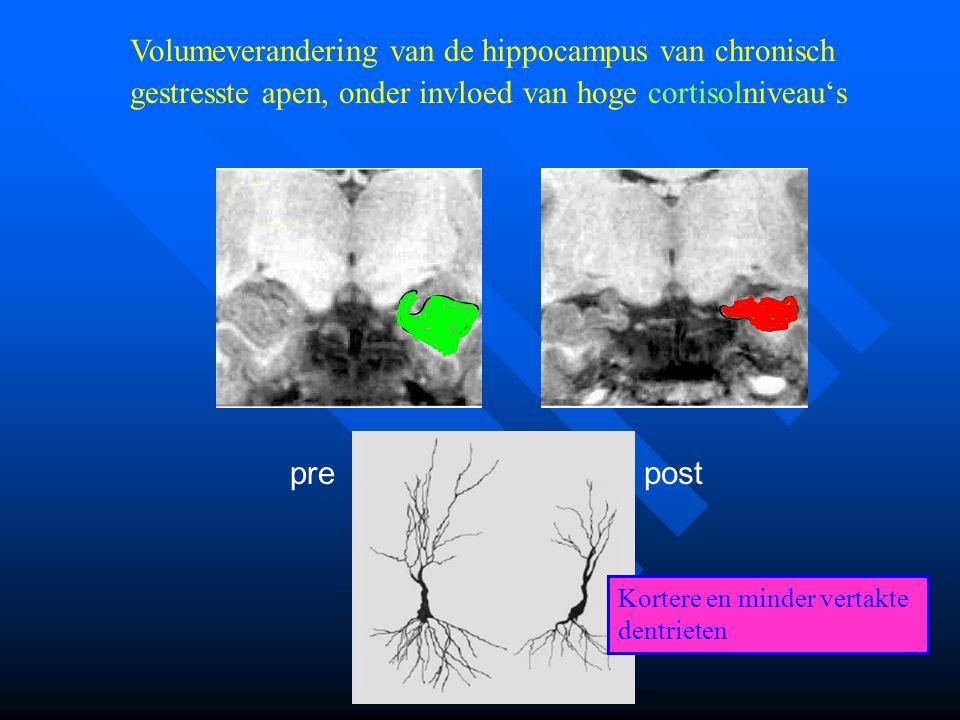 Volumeverandering van de hippocampus van chronisch gestresste apen, onder invloed van hoge cortisolniveau's