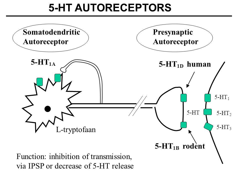 5-HT AUTORECEPTORS Somatodendritic Autoreceptor Presynaptic
