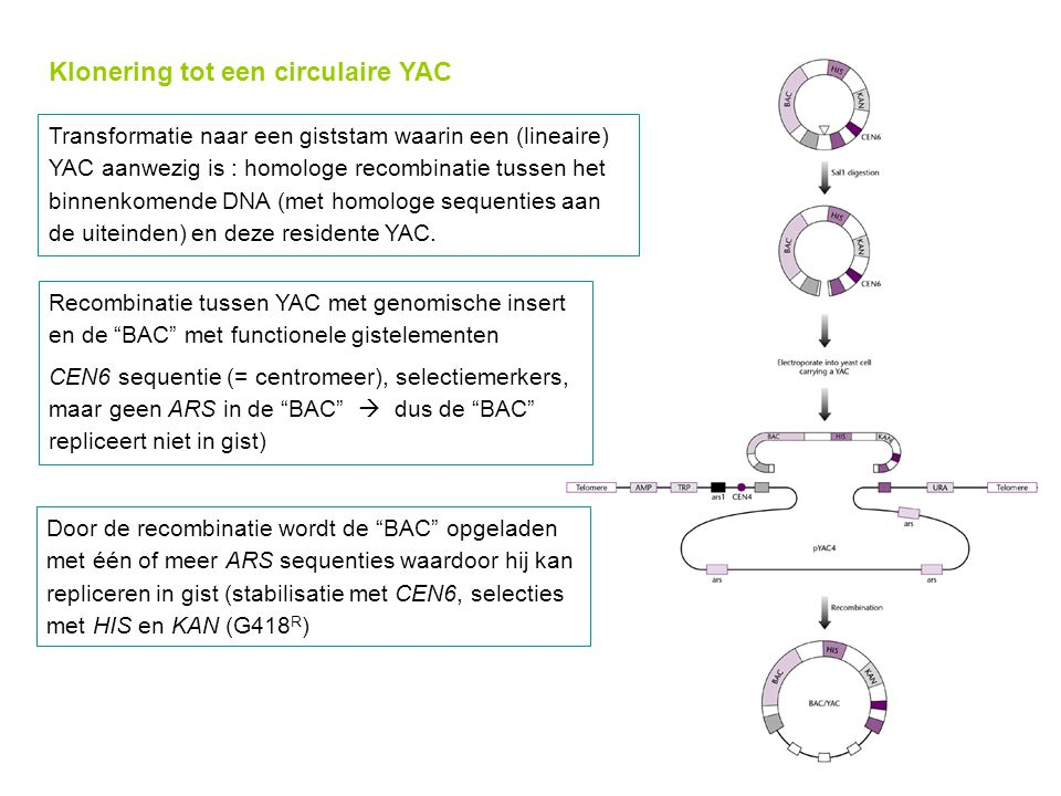 Klonering tot een circulaire YAC