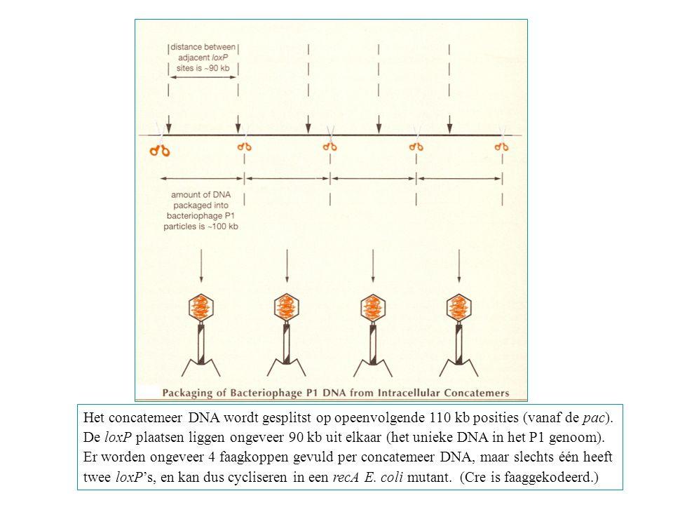 Het concatemeer DNA wordt gesplitst op opeenvolgende 110 kb posities (vanaf de pac).