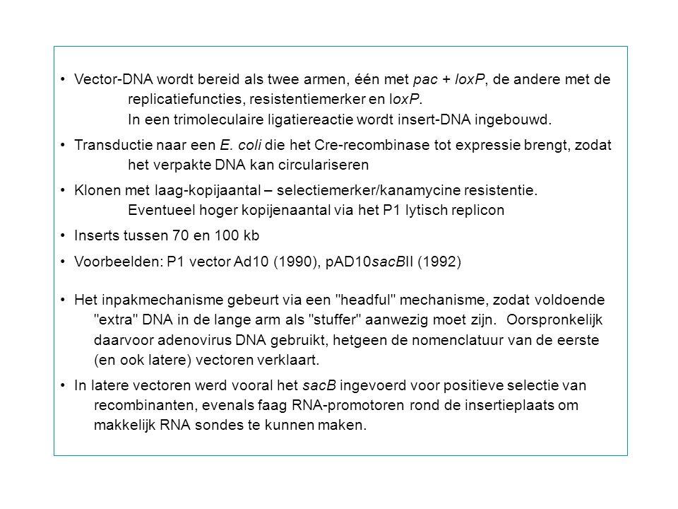 Vector-DNA wordt bereid als twee armen, één met pac + loxP, de andere met de
