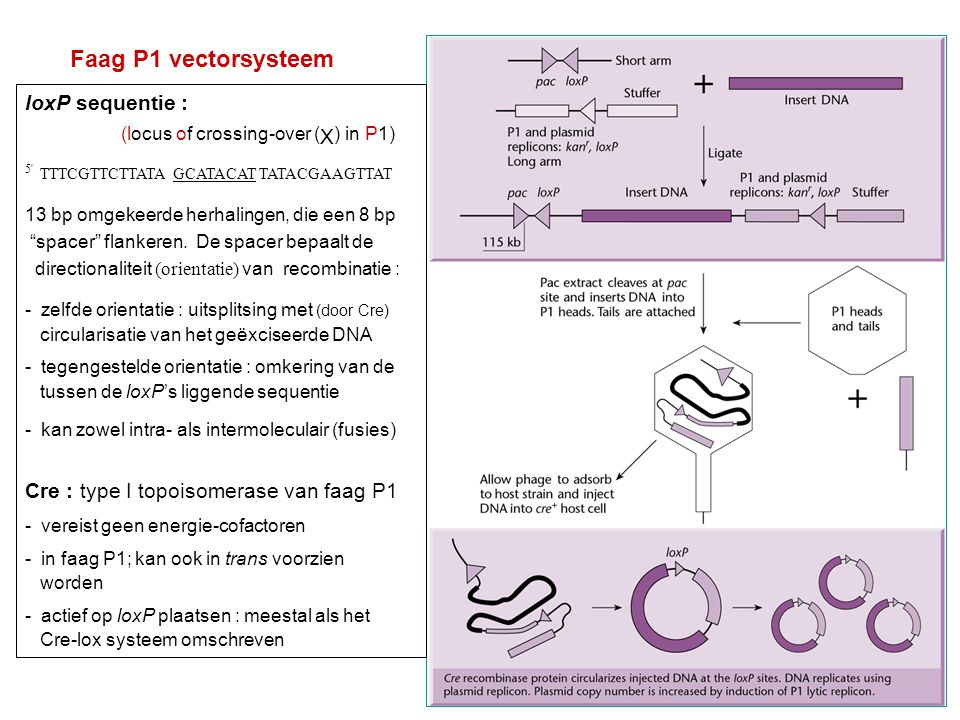 Faag P1 vectorsysteem loxP sequentie :